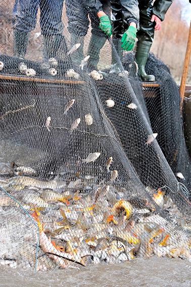 Nederlandse visserijbeleid Professionele kust- en binnenvisserij worden voornamelijk gebonden door Nederlandse visserijbeleid